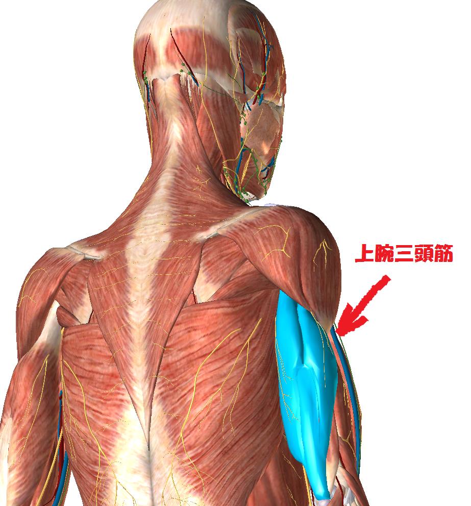 「上腕三頭筋」の画像検索結果